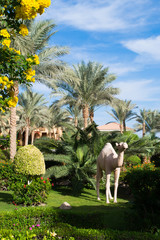 Palms with a camel