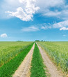 rural road to horizon in green fields and blue sky with clouds