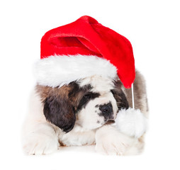 Saint bernard puppy dressed in a christmas hat