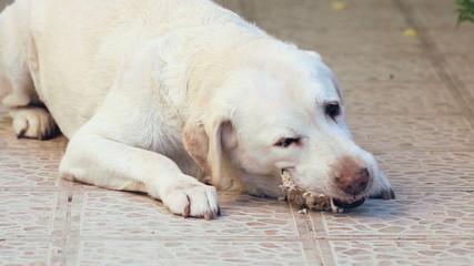 white labrador dog scrunching pig bones