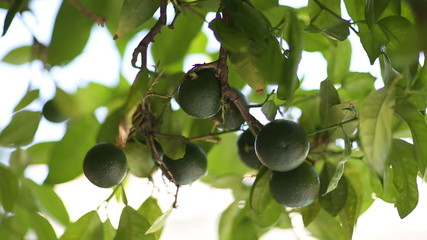 Unripe green tangerines on a tree branch