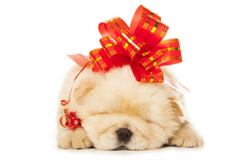chow-chow puppy with big red bow