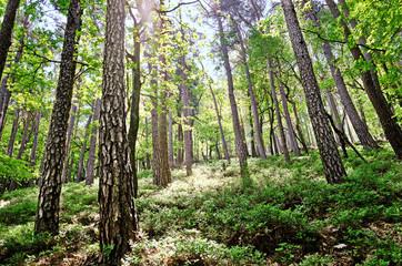 Kiefernwald Monokultur Lichtung Bäume im Gegenlicht