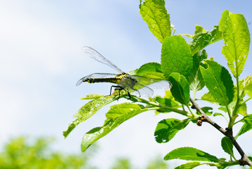 Ophiogomphus cecilia. Dragonfly on the green leaves and sky