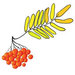 Branch of rowan. Berries and green leaves of rowan