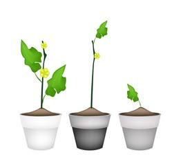 Ridged Gorud Plant in Ceramic Flower Pots