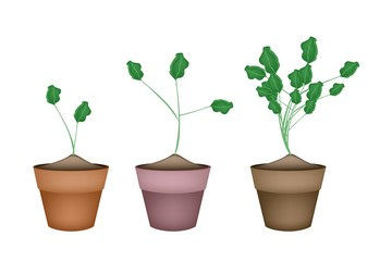 Three Fresh Watercress in Ceramic Flower Pots