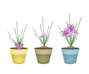 Crocus Sativus Plants in Ceramic Flower Pots
