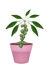 Macadamia Nuts on Branch in Ceramic Flower Pots