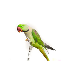 Close-up green parrot over white background