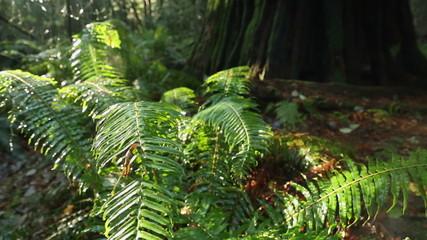 Pacific Northwest Rainforest Ferns and Rain