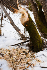 traces of beavers in the woods