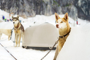 Alaskan sled dogs in training resting in igloos in between runs