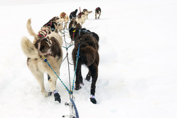 Rear view of team of sled dogs on a line pulling a sled
