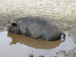 A potbellied pig in a mud pool