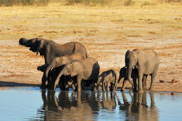Famille d'éléphants buvant au point d'eau