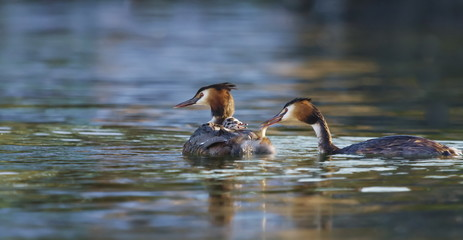 Crested grebe, podiceps cristatus, ducks and baby