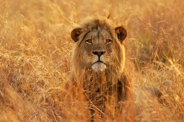 Lion dans les herbes hautes