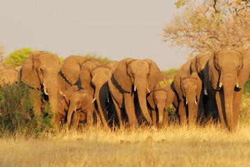 Famille d'éléphant en marche
