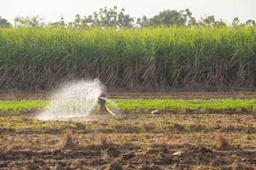 Farmer watering vegetable in suphanburi