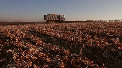 truck carry by grain and wheat in body