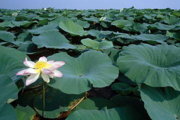 fior di loto laghi di mantova