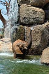 African elephant in natural environment standing under the water