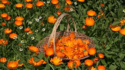 marigold calendula medical flower herbs in wicker  basket