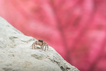 Jumping Spider - Stock Image