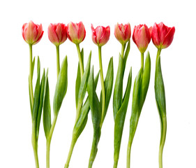 Red tulips, double spring flowers isolated on white