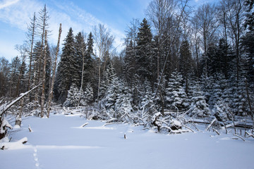 winter forest covered with snow.