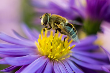 nectar for bee