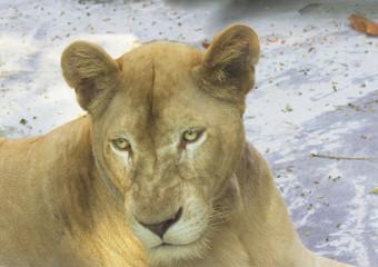 Животное львица