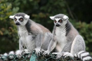 Lemuren auf Zaun