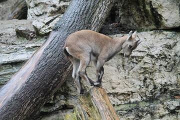Junge Gämse im Zoo Salzburg