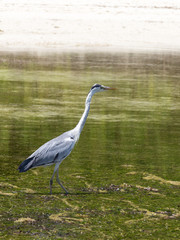 long-necked heron