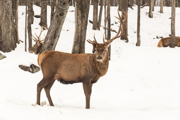 Elk in a winter forest