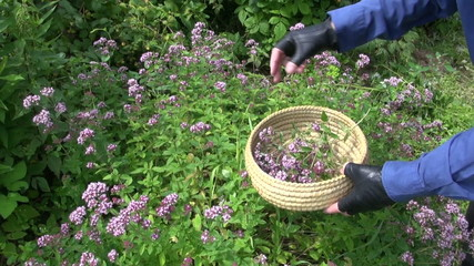 gardener harvesting wild marjoram oregano medical flowers