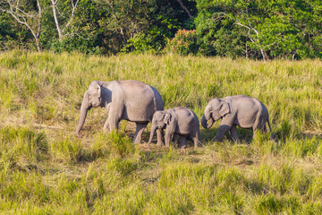 Lovely family of Wild Elephant walking on the hill