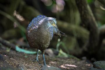 Male Rare Grey Peacock-Pheasant
