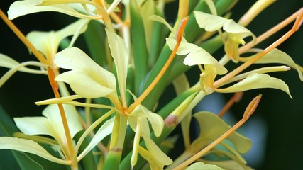 Variety of yellow lily, lilies or lilium flower