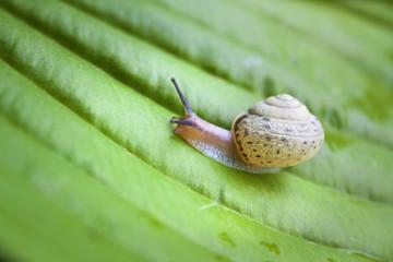 Snail on the green Hosta leaf