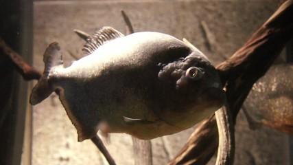 Huge fish in an aquarium