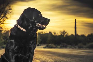 Profile of pet dog labrador