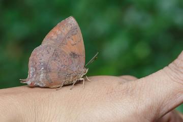 Purple leaf blue butterfly on hand
