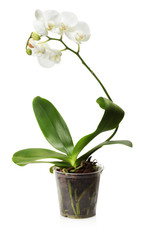 white orchid in the pot isolated on the white background