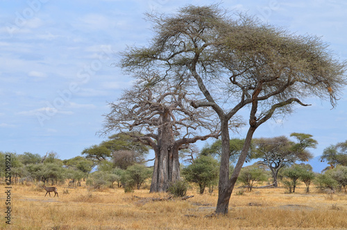 Fotobehang Antilope Savanna and Baobab