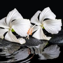 Beautiful spa concept of two delicate white hibiscus, zen stones © Alisa