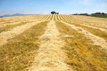 Campo di grano secco