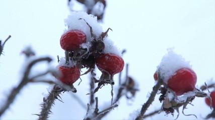 Frozen berries under snow. St. Petersburg. Russia